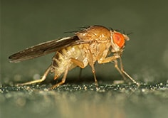 Fly exterminator like Fruit Flys