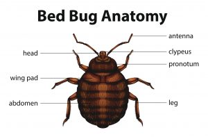 an image of a bed bug to help albany homeowners looking for pest control identify these pests