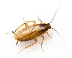 an example of a cockroach to help people looking for capitol district pest control to identify what they look like