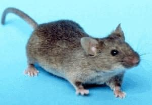 an example of house mice for the purpose of identifying a pest control problem in albany new york