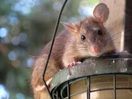a picture of a roof rat for the purposes of identifying a pest control problem in albany new york