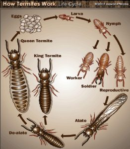 a diagram showing the life cycle of a termite for pest control services in albany ny