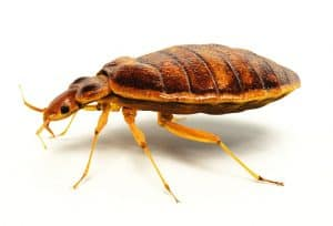 bed bug extermination in albany ny through nontoxic biopesticide usage