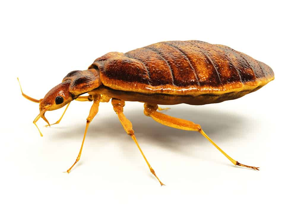 bed bug extermination in schenectady ny through nontoxic biopesticide usage